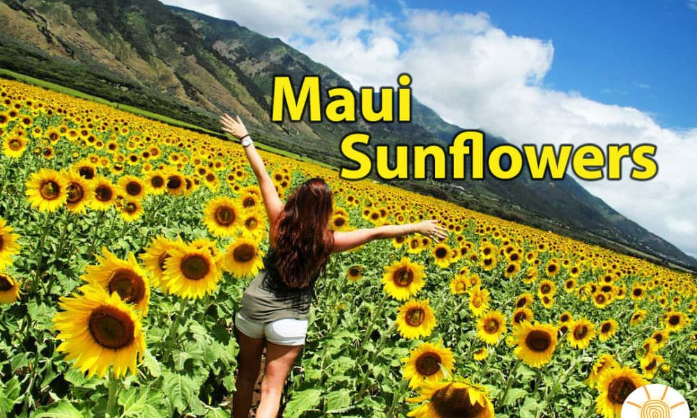 Maui Sunflower Field